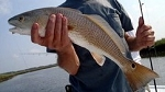 NC Red Drum Skinless Filet (1 lb)  **FRESH ON HAND**